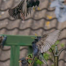 Face Off by Michelle Louise Scoplin - Animals Birds ( starling, wildlife, fighting, birds, feeder )