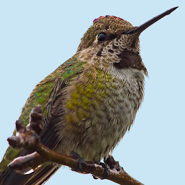 Our Guardian Hummingbird by Sparty Rodgers - Animals Birds ( anna's hummingbird, hummingbird, western washington state, birds, avian portrait )