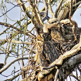 owl family by Rita Flohr - Novices Only Wildlife ( large bird, nature, baby owls, owl, birds, great horned owl )