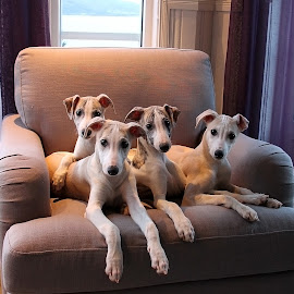 Whippet puppies  by Cathrin Rasmussen - Animals - Dogs Puppies ( puppies, pup, sighthound, puppy, dog, whippet,  )