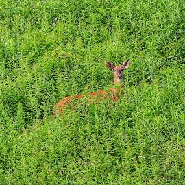 Doe by Brian Homitz - Animals Other ( wild, wilderness, outdoors, outdoor, hunting, doe, woods, deer )