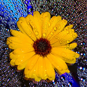 by Ralf  Harimau - Nature Up Close Gardens & Produce ( blume, yellow, gelb, flower, cd )