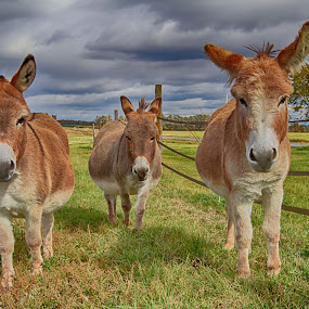 Three Donkey's by Debbie Quick - Animals Other Mammals ( three donkey's, debbie quick, stormy, nature, outdoor photography, donkey, nature up close, nature lovers, storm clouds, natures best shots, three, debs creative images, national geographic, outdoor magazine, donkey photography, farm animals, outdoors, animal photography, donkey's, animal, farm, vermont, nature photography,  )