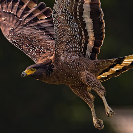 Power  by Abdus Alim - Animals Birds