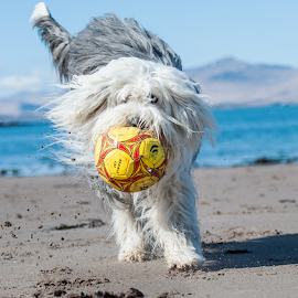 on the ball by Michael  M Sweeney - Animals - Dogs Playing ( scotland, joy, play, old english sheep dog, fun, michael m sweeney, nikon, dog )