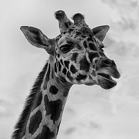 Giraffe by Cristobal Garciaferro Rubio - Black & White Animals ( b/w, hello, giraffe, savage, big animal, animal )