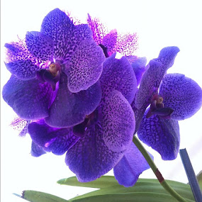 by Joey Chen - Instagram & Mobile Instagram ( purple orchid, flower )