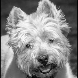 Westie by Dave Lipchen - Black & White Animals ( westie )