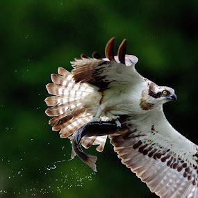 Osprey With Breakfast by Charlie Davidson - Animals Birds ( bird, scotland, wild, bird of prey, nature, wildlife, raptor, animal )