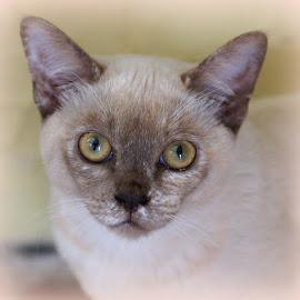 Tilly by Caroline Beaumont - Animals - Cats Portraits ( kitten, cat, chocolate tortie, burmese, eyes )