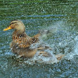Duck Shower by Tomasz Budziak - Animals Birds ( animals, duck,  )