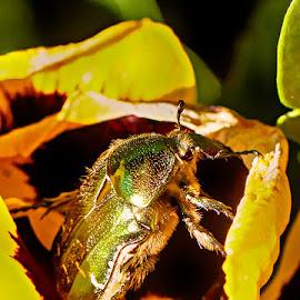 Beetle by Radu Eftimie - Animals Insects & Spiders ( macro, beetle )