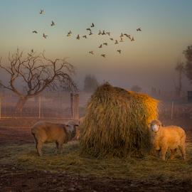 Misty Farm by Gary Beresford - Landscapes Prairies, Meadows & Fields ( farm, australia, sheep, rural, mist )