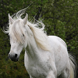 Flyaway Hair by Deanna Ramsay - Animals Horses ( pasture, horse, grey, mammal, animal )