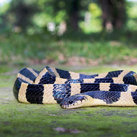 Banded Krait (Bungarus fasciatus) by Pankaj Biswas - Animals Reptiles ( reptiles, banded, nature, green, wildlife, krait, snakes )