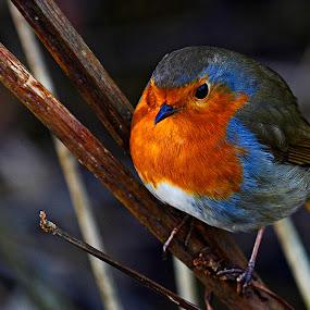 Fat Boy by Wilson Beckett - Animals Birds (  )