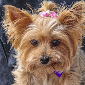 I Hope He Gives Me Some by Joan Sharp - Animals - Dogs Portraits ( yorkie, ribbon, dog, tan, animal,  )