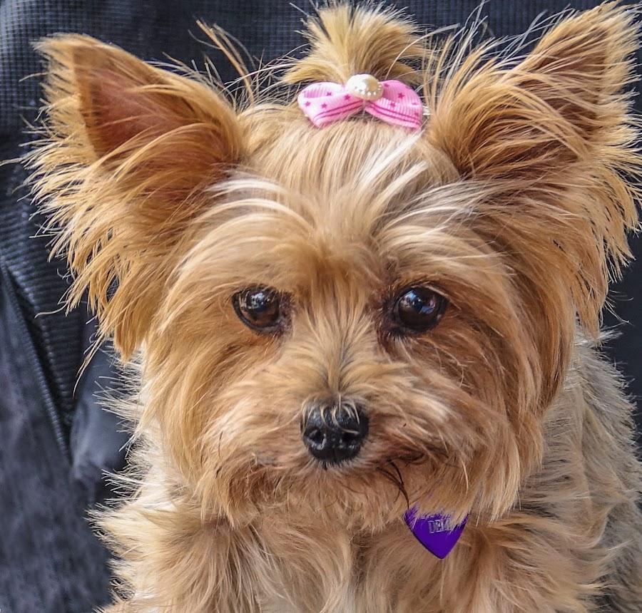 I Hope He Gives Me Some by Joan Sharp - Animals - Dogs Portraits ( yorkie, ribbon, dog, tan, animal,  )