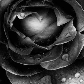Wet Rose by David Benedict - Nature Up Close Gardens & Produce (  )