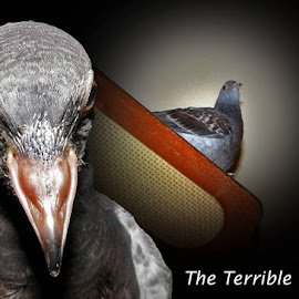 Two Month Old Trouble by Peggy McFarland - Typography Captioned Photos ( pigeon, pet, white, brown, grey, juvenile, evil eye )