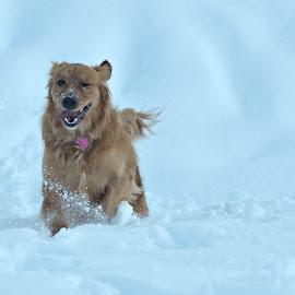 Runninng in the Snow by Christine McEwan - Animals - Dogs Running ( mountains, playful, snoqualmie national forest, ski resort, happy, snow, mt. baker, fun, dog, running, golden retriever,  )