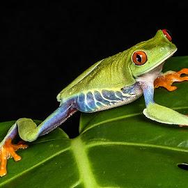Red Eyed Tree Frog by Garry Chisholm - Animals Amphibians ( garry chisholm, macro, red, nature, tree, frog, amphibian, eye )