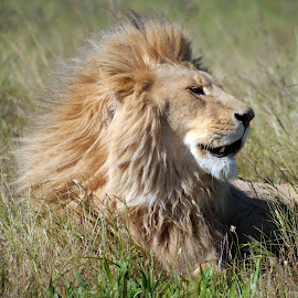 His Majesty by Claudia Lothering - Animals Lions, Tigers & Big Cats