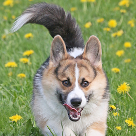 Overjoyied Elmo by Mia Ikonen - Animals - Dogs Puppies ( action, pembroke welsh corgi, finland, fun, running,  )
