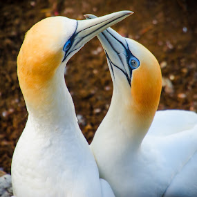 I look to you by Mahdi Hussainmiya - Animals Birds ( gannets, pwctaggedbirds, gannets doing a mating ritual, new zealand )