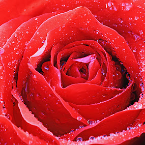 201302090834 Rose by Steven De Siow - Nature Up Close Flowers - 2011-2013 ( rose, macro, red, close up, flower, improving mood, moods, love, the mood factory, inspirational, passion, passionate, enthusiasm )