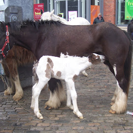 Mare and foal by Jenny Noraika - Animals Horses ( mare, ireland, sales, feeding, foal )