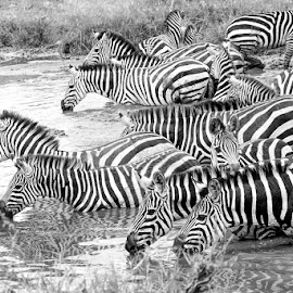 Drinking water by Pravine Chester - Black & White Animals ( animals, monochrome, black and white, wildlife, photography, zebras )