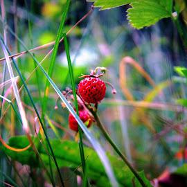 Земляничка  by Эдуард Петруша - Landscapes Forests ( лес, красный, земляника, лист, трава, зелёный, ягода )