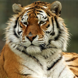 Tiger by Ralph Harvey - Animals Lions, Tigers & Big Cats ( wildlife, ralph harvey, marwell zoo, animal )