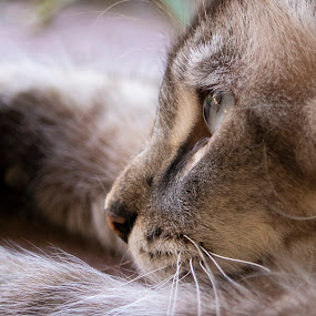 Laying Cat by Karoner Gaming - Animals - Cats Portraits ( photograph, laying, cat, photo, canon )