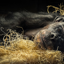 Dreaming of Home by Stuart Partridge - Animals Other Mammals ( zoo, houston, d610, nikon, chimp )