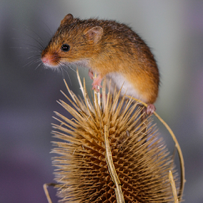 Mouse by Garry Chisholm - Animals Other Mammals ( mice, garry chisholm, mouse, nature, british wildlife, harvest )