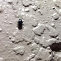 Black June Beetle