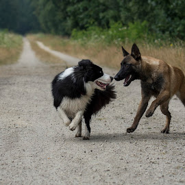lovely dogs  by Wendy Chlum - Animals - Dogs Running ( playing, dogs, running, animal )