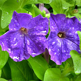Rainy Morning by Brian Shoemaker - Novices Only Flowers & Plants ( macro, purple, colors, close up, rain )