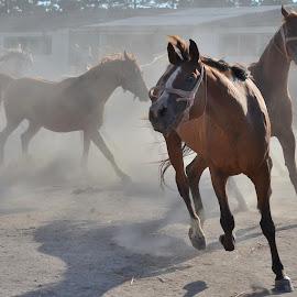 fury by Rux Georgescu - Animals Horses ( animals, horses, horse )