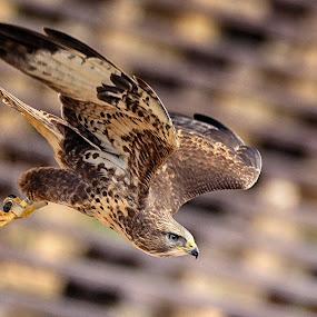 Flying Hawk by Jiri Cetkovsky - Animals Birds ( bird, zoo, fly, plzen, hawk )