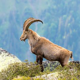 Proud by Peter Grutter - Animals Other Mammals ( steinbock, mountain, niederhorn, ibis, switzerland, alps )