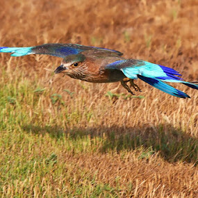 Indian Roller by Nithya Purushothaman - Animals Birds