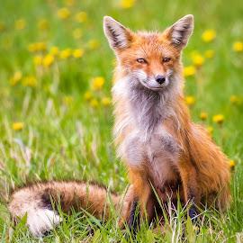 Red Fox Female by Dave Lipchen - Animals Other Mammals