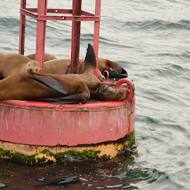 Nap time by Kevin Walton - Novices Only Wildlife ( seals, buoy, ocean, sleeping, large )
