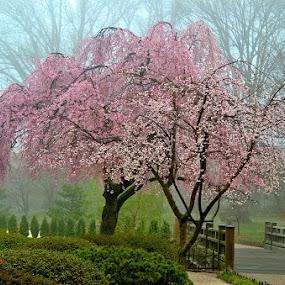 Flowering Cherry Tree by Steve Edwards - City,  Street & Park  City Parks (  )