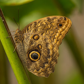 Owl Butterfly - 2 by Dbart ... - Animals Insects & Spiders ( butterfly, macro, nature, outdoor, owl butterfly, caligo, close-up, rainforests,  )