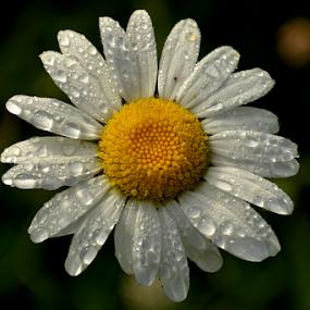 by Kristina Nutautiene - Flowers Single Flower (  )
