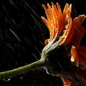 April Showers by Joseph Quartson - Nature Up Close Flowers - 2011-2013 ( drops, yellow, gerbera, rain, flower )